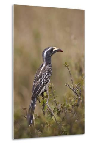 African Grey Hornbill (African Gray Hornbill) (Tockus Nasutus)-James Hager-Metal Print