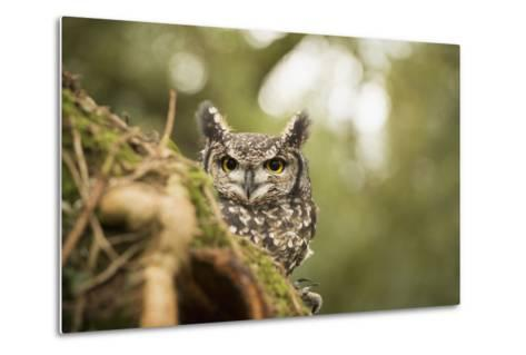 Spotted Eagle Owl (Bubo Africanus), Herefordshire, England, United Kingdom-Janette Hill-Metal Print