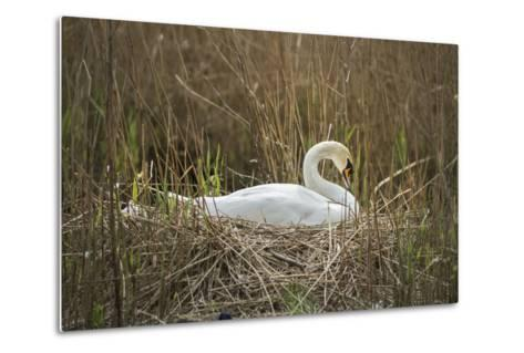 Swan (Cygnus), Gloucestershire, England, United Kingdom-Janette Hill-Metal Print