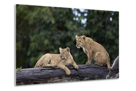 Lion (Panthera Leo) Cubs on a Downed Tree Trunk in the Rain-James Hager-Metal Print
