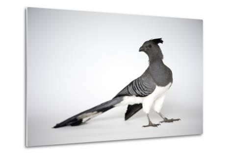 A White-Bellied Go-Away Bird, Corythaixoides Leucogaster-Joel Sartore-Metal Print