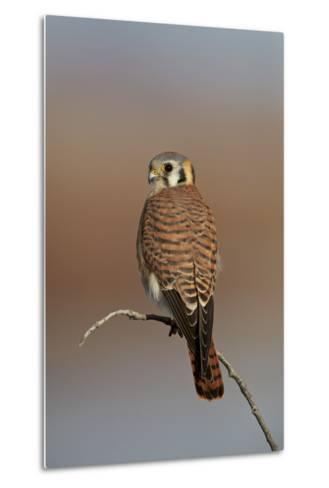 American Kestrel (Sparrow Hawk) (Falco Sparverius) Female-James Hager-Metal Print