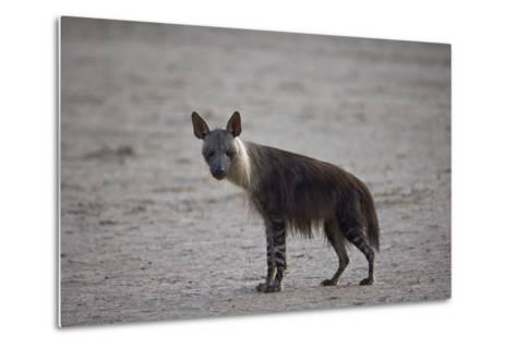 Brown Hyena (Hyaena Brunnea) (Formerly Parahyaena Brunnea)-James Hager-Metal Print