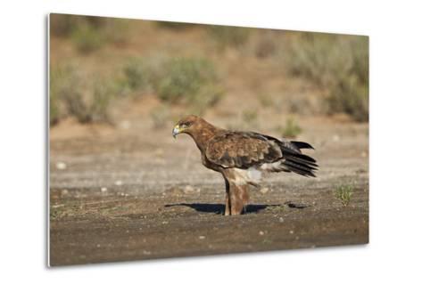 Tawny Eagle (Aquila Rapax), Kgalagadi Transfrontier Park-James Hager-Metal Print
