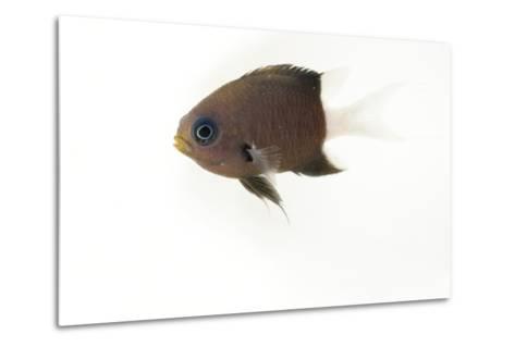 A Bicolor Chromis, Chromis Margaritifer, at Omaha's Henry Doorly Zoo and Aquarium-Joel Sartore-Metal Print