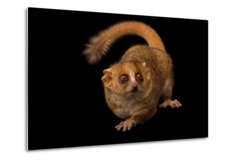 A Gray Mouse Lemur, Microcebus Murinus, at the Duke Lemur Center-Joel Sartore-Metal Print
