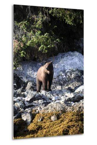 A Grizzly Bear, Ursus Arctos, Foraging on a Rocky Shore-Jeff Wildermuth-Metal Print