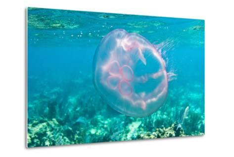 A Moon Jellyfish Floating Underwater by the Coral Reefs Offshore Key Largo, Florida-Mike Theiss-Metal Print