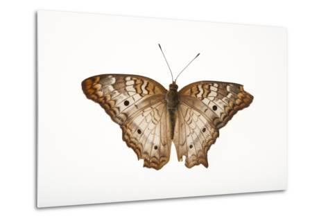 A White Peacock Butterfly, Anartia Jatrophae, a Native to Nebraska, at the Lincoln Children's Zoo-Joel Sartore-Metal Print