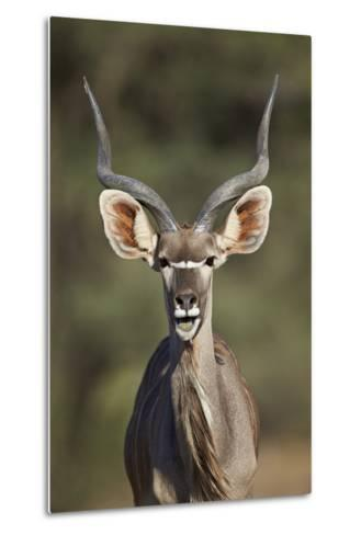 Greater Kudu (Tragelaphus Strepsiceros) Buck with His Mouth Open-James Hager-Metal Print