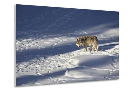 Gray Wolf (Canis Lupus) 870F of the Junction Butte Pack in the Winter-James Hager-Metal Print