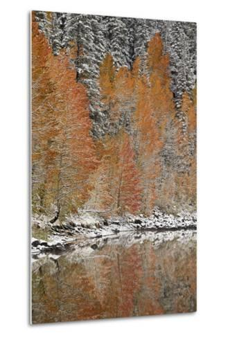 Orange Aspens in the Fall Among Evergreens Covered with Snow at a Lake-James Hager-Metal Print