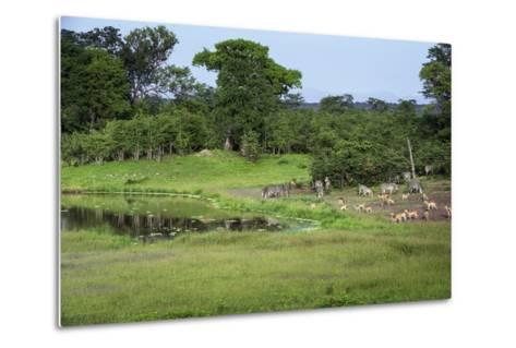 Zebra and Impala at Waterhole, South Luangwa National Park, Zambia, Africa-Janette Hill-Metal Print