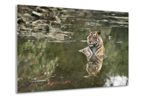 Ustaad, T24, Royal Bengal Tiger (Tigris Tigris), Ranthambhore, Rajasthan, India-Janette Hill-Metal Print