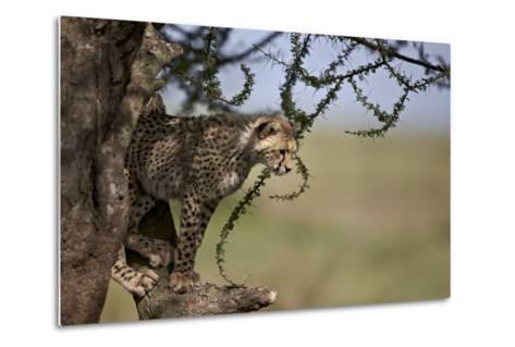 Cheetah (Acinonyx Jubatus) Cub in an Acacia Tree-James Hager-Metal Print