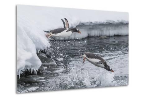 Gentoo Penguins (Pygoscelis Papua) Leaping into the Sea at Booth Island, Antarctica, Polar Regions-Michael Nolan-Metal Print