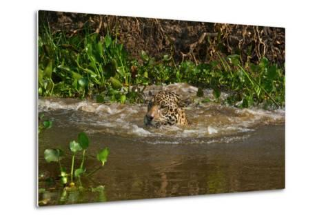 A Wild Jaguar Swims in the Cuiaba River after Jumping in to Catch Prey-Steve Winter-Metal Print