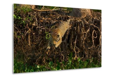 A Wild Jaguar Leaps into the Cuiaba River after Prey-Steve Winter-Metal Print