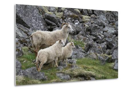 Portrait of an Icelandic Sheep Family-Erika Skogg-Metal Print