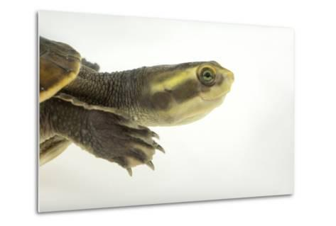 Yellow-Faced Turtle, Emydura Tanybaraga-Joel Sartore-Metal Print