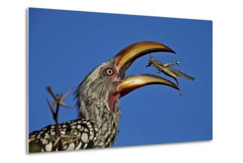 Southern Yellow-Billed Hornbill (Tockus Leucomelas) Flipping a Grasshopper-James Hager-Metal Print