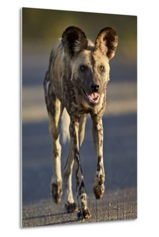 African Wild Dog (African Hunting Dog) (Cape Hunting Dog) (Lycaon Pictus) Running-James Hager-Metal Print