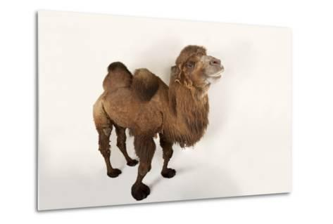A Critically Endangered Bactrian Camel, Camelus Bactrianus, at the Lincoln Children's Zoo-Joel Sartore-Metal Print