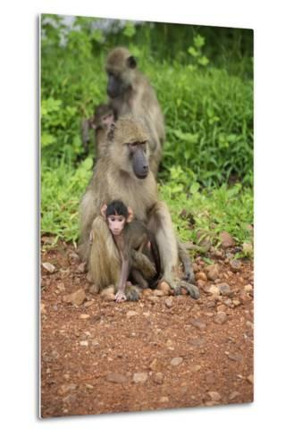 Mother and Baby Yellow Baboon (Papio Cynocephalus), South Luangwa National Park, Zambia, Africa-Janette Hill-Metal Print