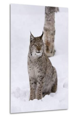 European Lynx (Lynx Lynx), Polar Park, Norway, Troms, Norway, Scandinavia-Sergio Pitamitz-Metal Print