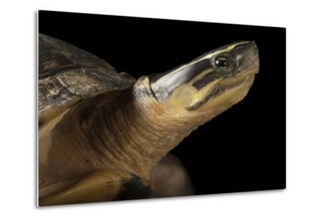 A Malayan Box Turtle, Cuora Amboinensis-Joel Sartore-Metal Print