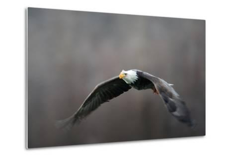 Portrait of a Bald Eagle, Haliaeetus Leucocephalus, in Flight, with Something in its Talons-Bob Smith-Metal Print