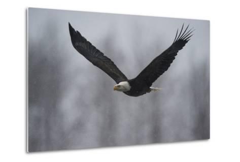 Portrait of a Bald Eagle, Haliaeetus Leucocephalus, in Flight in a Snow Shower-Bob Smith-Metal Print
