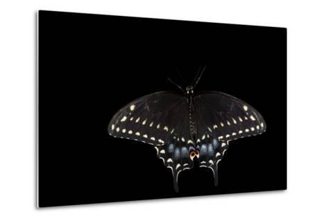 A Black Swallowtail, Papilio Polyxenes, at the Minnesota Zoo-Joel Sartore-Metal Print