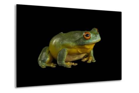 A Southern Orange-Eyed Tree Frog, Litoria Chloris, at the Wild Life Sydney Zoo-Joel Sartore-Metal Print