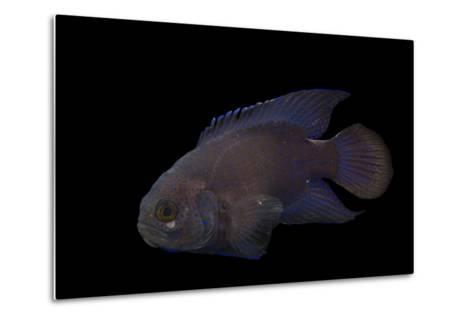 A Southern Blue Devil, Paraplesiops Meleagris, at Omaha's Henry Doorly Zoo and Aquarium-Joel Sartore-Metal Print