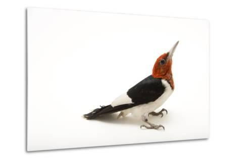 A Male Red-Headed Woodpecker, Melanerpes Erythrocephalus, at St. Francis Wildlife Association-Joel Sartore-Metal Print