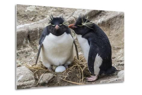 Adult Rockhopper Penguins (Eudyptes Chrysocome) at Nesting Site on New Island, Falkland Islands-Michael Nolan-Metal Print