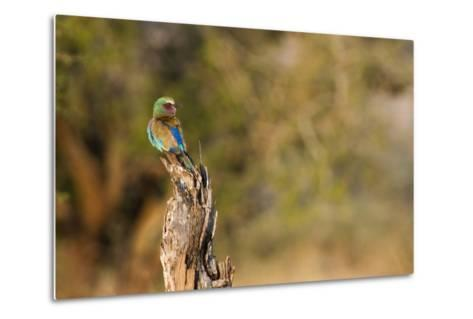 A Lilac Breasted Roller, Coracias Caudatus, Perched on a Stump-Erika Skogg-Metal Print