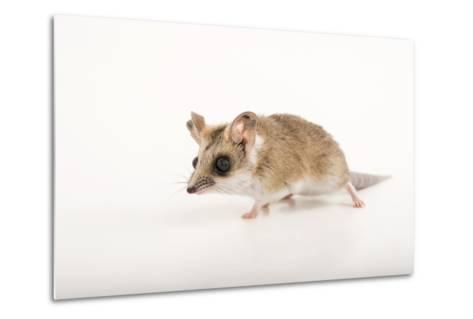 A Fat-Tailed Dunnart, Sminthopsis Crassicaudata, at the Wild Life Sydney Zoo-Joel Sartore-Metal Print