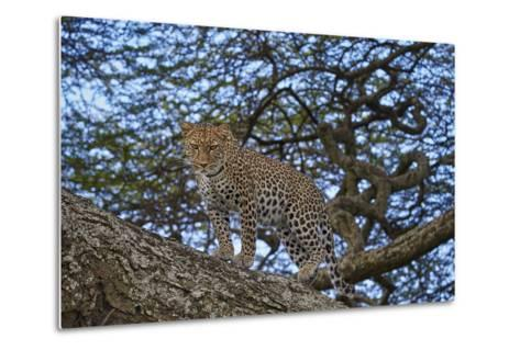 Leopard (Panthera Pardus) in a Tree-James Hager-Metal Print