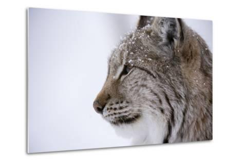 European Lynx (Lynx Lynx), Polar Park, Troms, Norway, Scandinavia-Sergio Pitamitz-Metal Print
