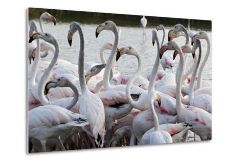 Greater Flamingo (Phoenicopterus Roseus), Camargue, Provence-Alpes-Cote D'Azur, France, Europe-Sergio Pitamitz-Metal Print