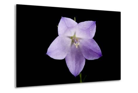 A Harebell Flower, Campanula Rotundifolia-Joel Sartore-Metal Print