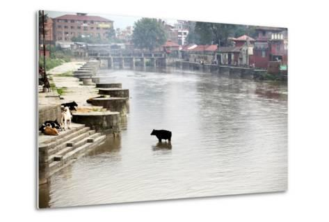 A Cow Stands in the Bagmati River Running Through Kathmandu-Jill Schneider-Metal Print
