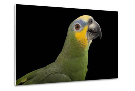 An Orange-Winged Amazon Parrot, Amazona Amazonica, at Omaha's Henry Doorly Zoo and Aquarium-Joel Sartore-Metal Print