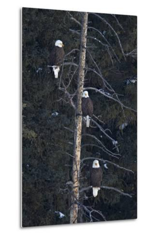 Three Bald Eagle (Haliaeetus Leucocephalus) in an Evergreen Tree-James Hager-Metal Print