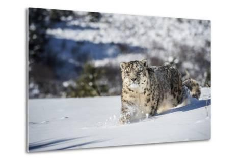 Snow Leopard (Panthera India), Montana, United States of America, North America-Janette Hil-Metal Print
