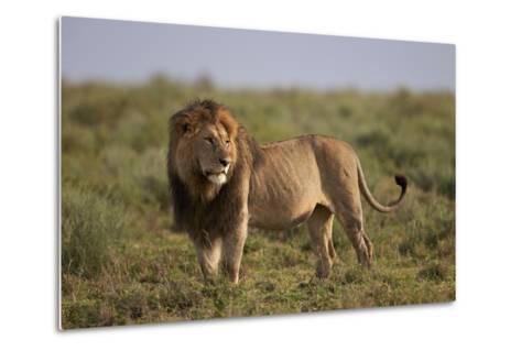 Lion (Panthera Leo), Serengeti National Park, Tanzania, East Africa, Africa-James Hager-Metal Print
