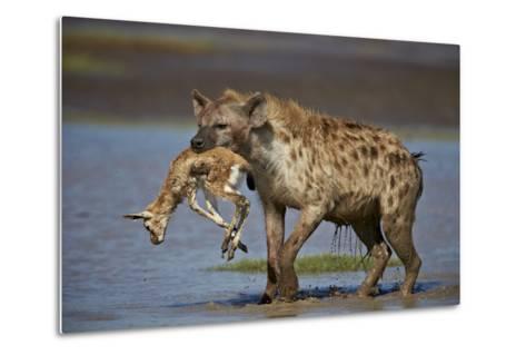 Spotted Hyena (Spotted Hyaena) (Crocuta Crocuta) with a Baby Thomson's Gazelle (Gazella Thomsonii)-James Hager-Metal Print