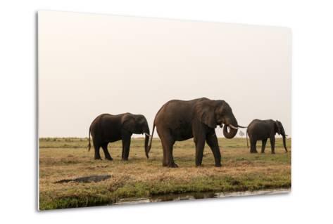 African Elephants (Loxodonta Africana), Chobe National Park, Botswana, Africa-Sergio Pitamitz-Metal Print